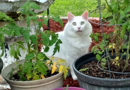 Are Tomatoes Bad for Cats?