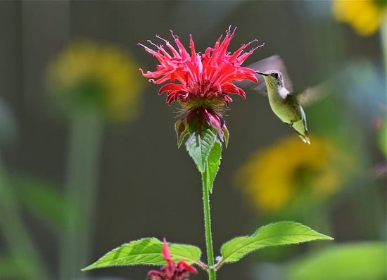 Best Plants for Hummingbirds