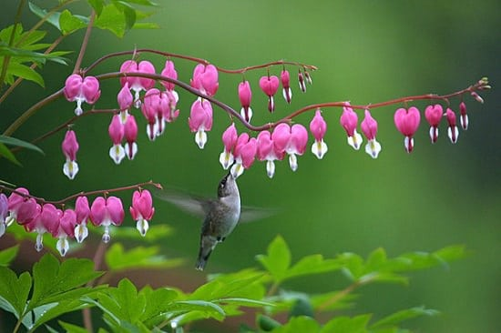 Native plants for hummingbirds