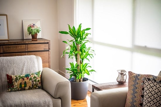 dracaena plant benefits