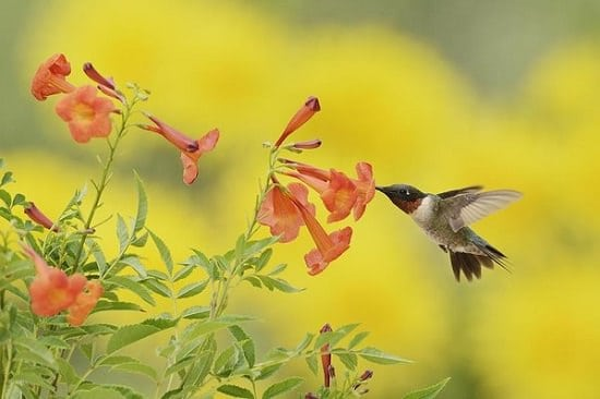 Annuals that attract hummingbirds