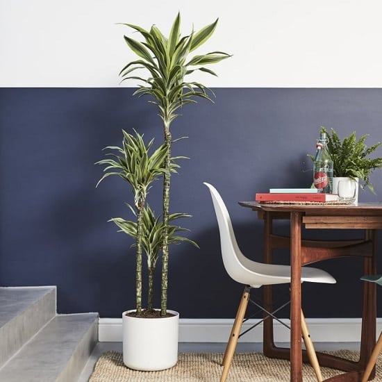 Dracaena is a popular houseplant known for its ornamental value. Apart from that, there are 6 Great Dracaena Plant Benefits proven in scientific studies!