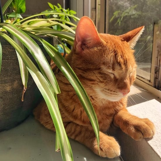 Are Spider Plants Poisonous to Cats 2