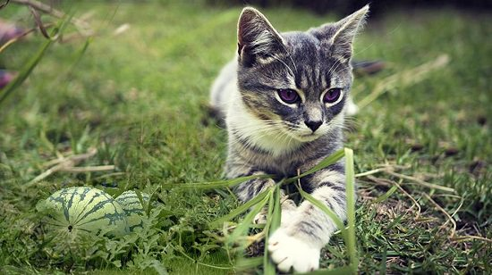 Can Cats Eat Watermelon? Yes! Watermelon can be a delicious and healthy treat to your cat. Learn how to give it in this article.