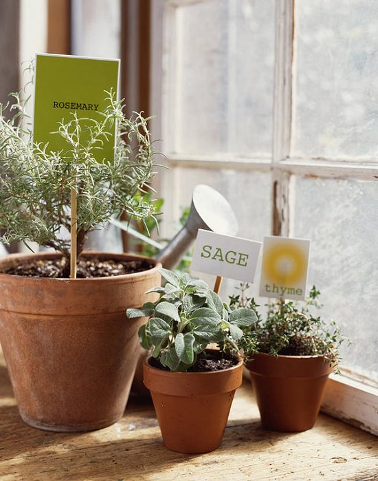 Growing Sage in Pots allows you to have this aromatic herb available year-round in your urban home without a garden.