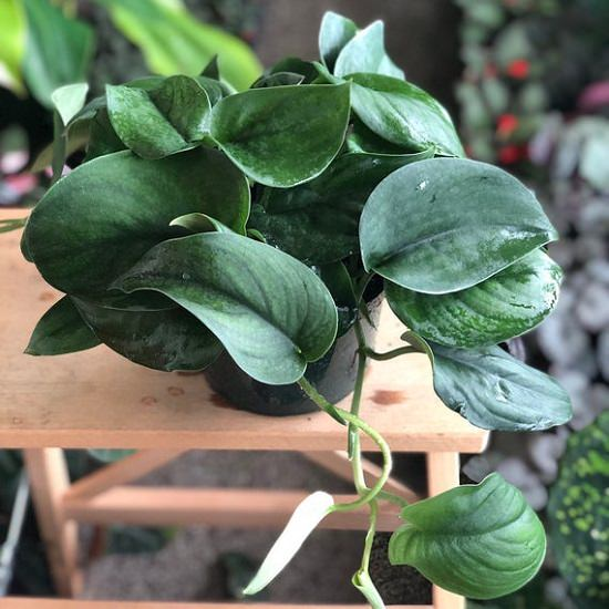 10 Types Of Pothos To Grow Indoors