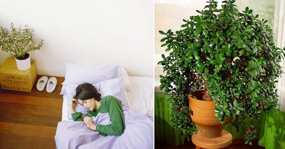 7 Credible Scientifically Proven Jade Plant Benefits
