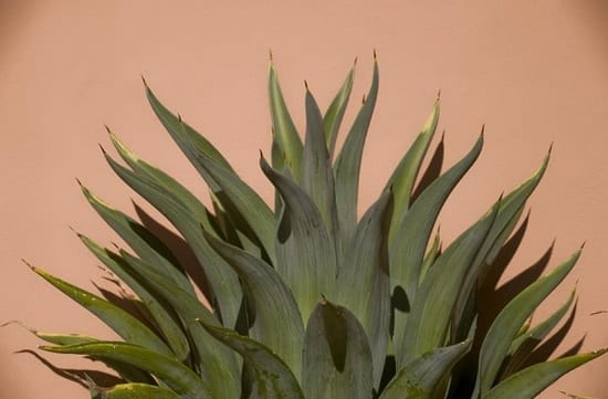 Agave benefits for hair
