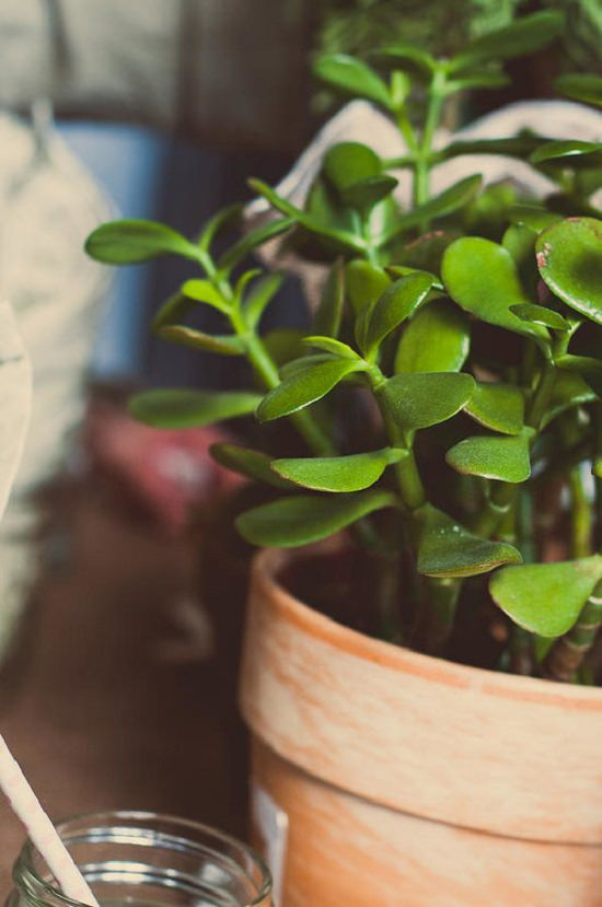 Jade Plant Benefits