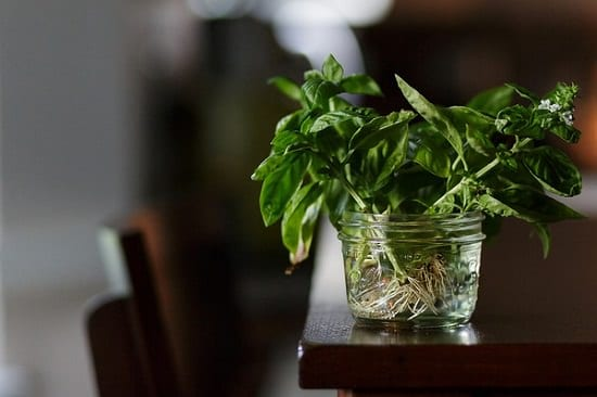 For never-ending fresh & aromatic supply of sweet basil sprigs in your kitchen, follow these 6 steps and start Growing Basil in Water.
