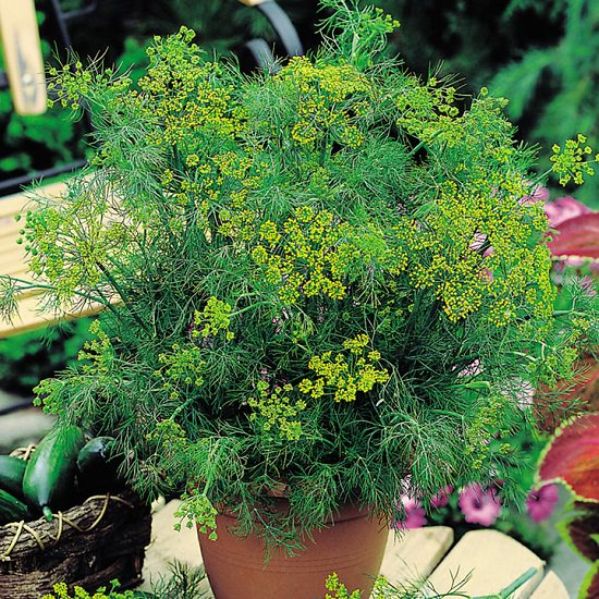Growing Dill in Pots? Learn everything you need for proper dill plant care in this informative article.