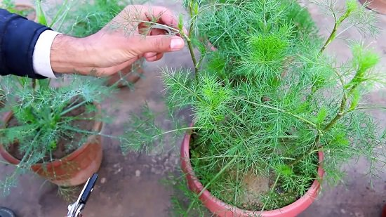 Growing dill in pots, dill plant care and harvesting