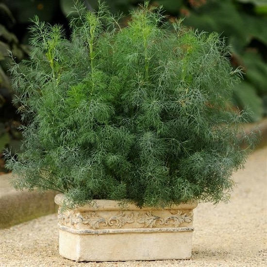 Dill Plant Care