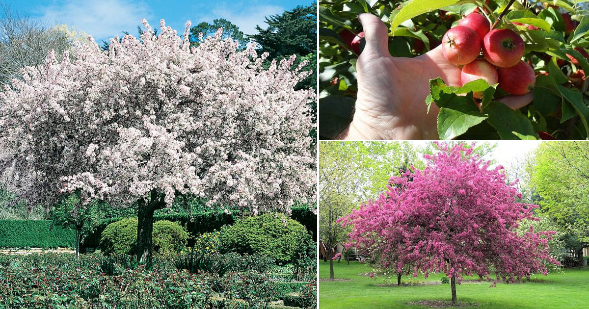 Profusion Crabapple Tree for Beginners