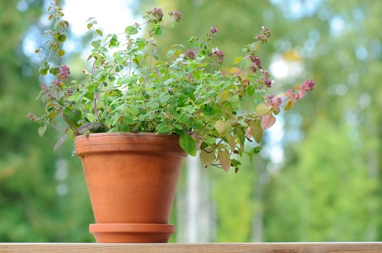 Growing marjoram from cuttings