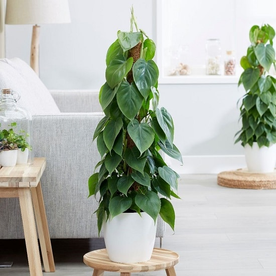 Types of Philodendron