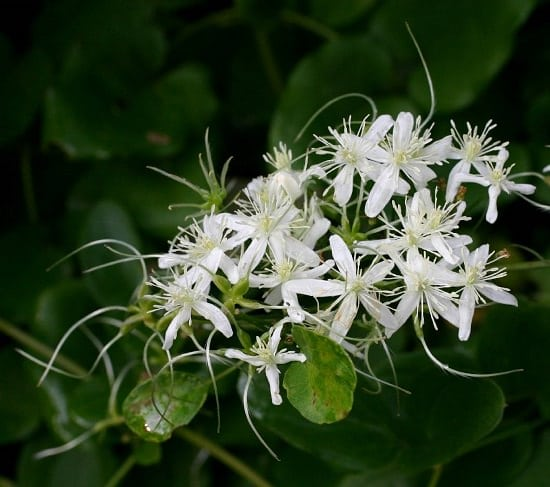 Flowers That Smell like Vanilla