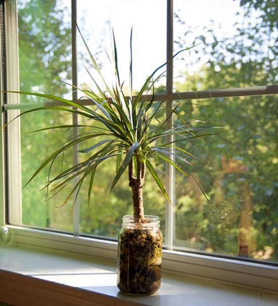 Dragon Tree Indoor water plant