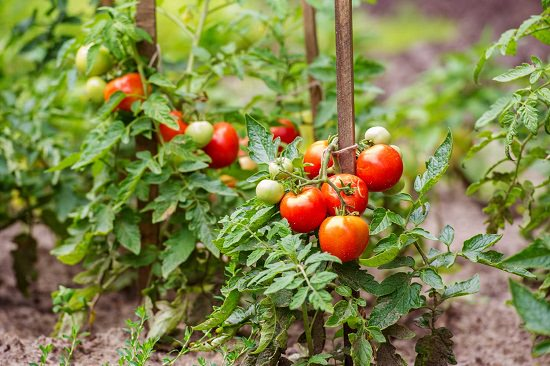 Best tomatoes to grow indoors