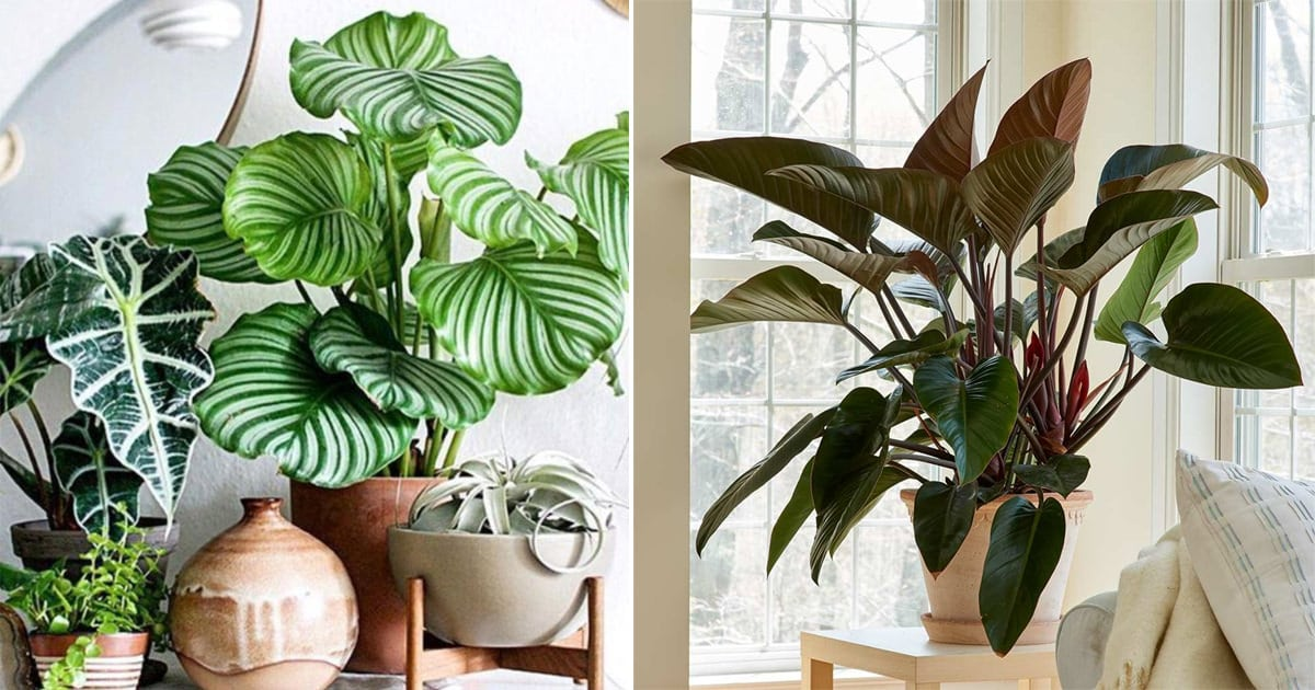 Image of: 13 Best Large Foliage Houseplants Indoor Plants With Big Leaves