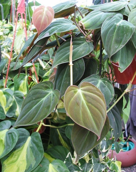 Some of the best Types of Philodendron