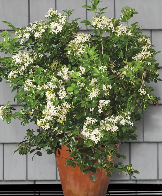 24 Best Smelling Fragrant Indoor Plants You Must Grow