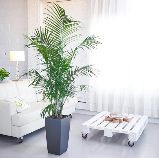 Indoor Palm