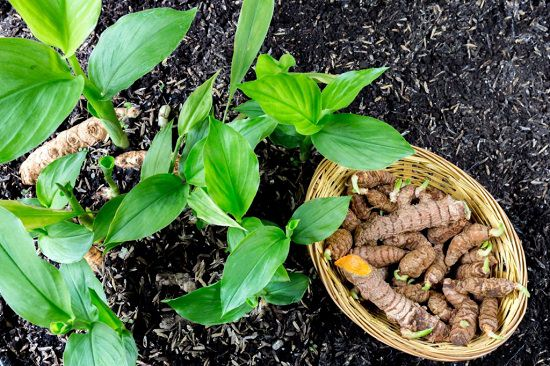 Types of Ginger Plants and Varieties