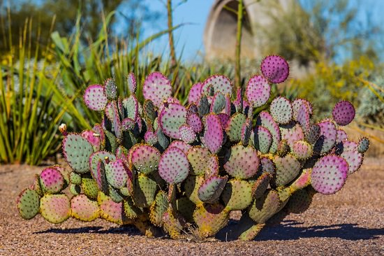 Types Of Prickly Pear Cactus