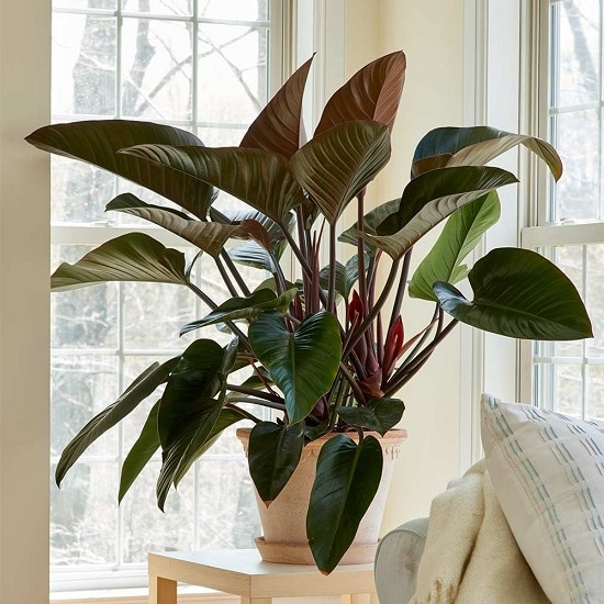 Types of Philodendron to grow indoors