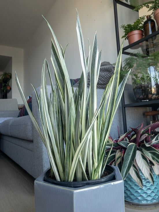 23 Types Of Snake Plants Varieties You Can Grow Indoors