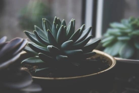 Succulents that can Grow in Shade