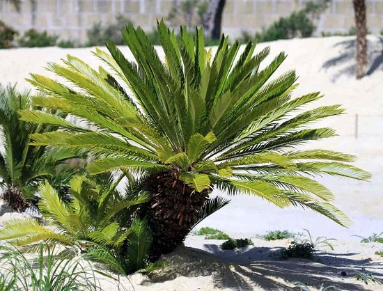 Caring for Sago Palm Plant