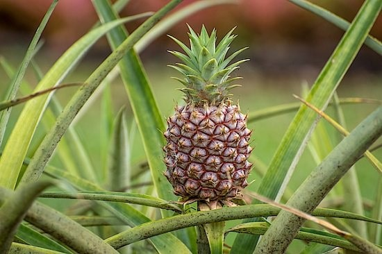 Do Pineapples Grow On Trees?