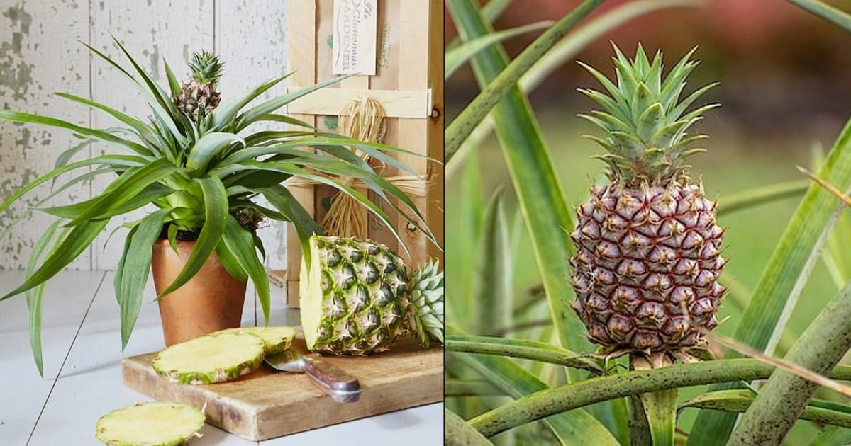Growing Pineapple Indoors Do Pineapples Grow On Trees