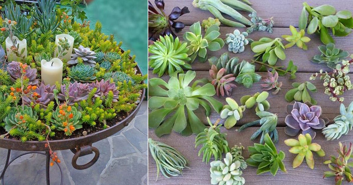 Propagating Succulents From Leaves Balcony Garden Web