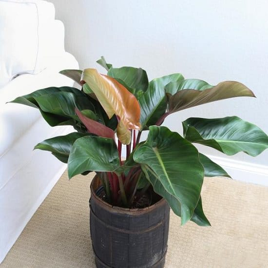 Philodendron Plant Care