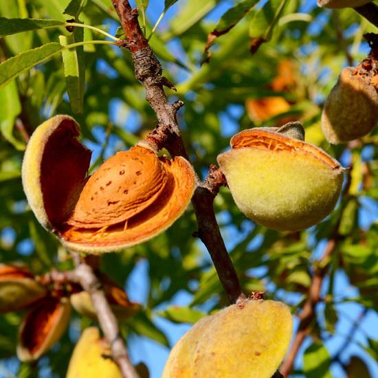 Where Do Almonds Come From?