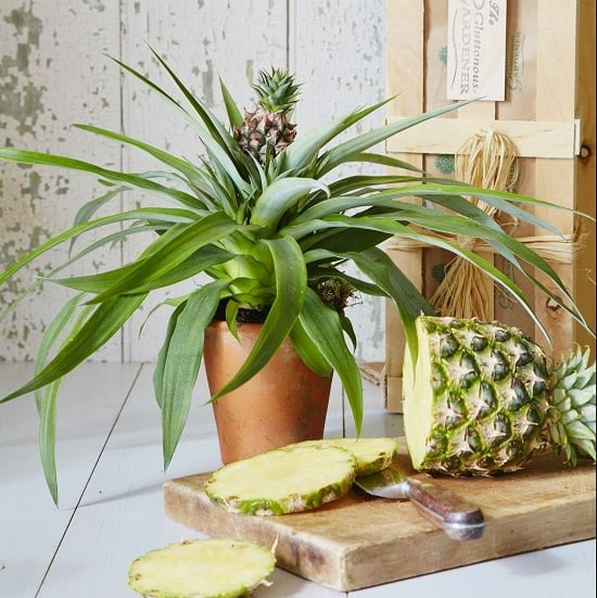 Growing Pineapple Indoors
