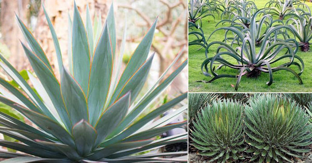 12 Types Of Agave Plants To Grow Best Agave Varieties