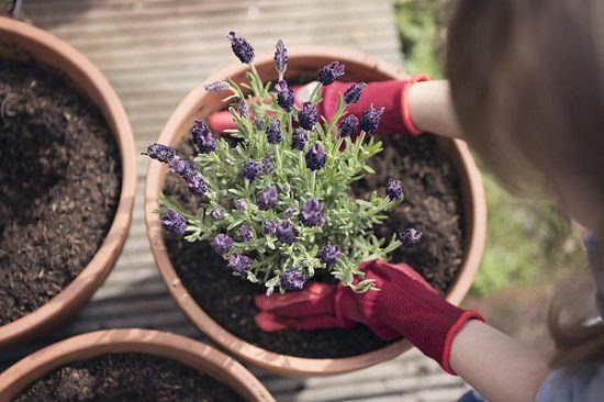 Growing Lavender In Pots 2