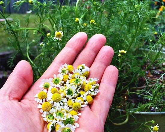 Growing Chamomile in Pots 2