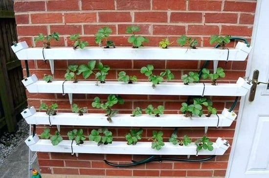 Growing Strawberries Hydroponically How To Grow