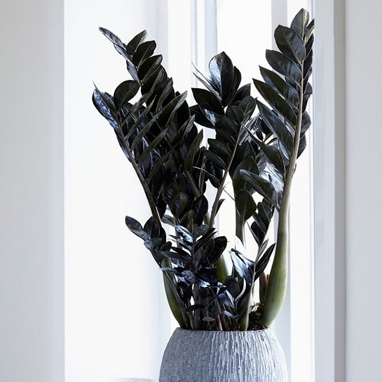 Black Indoor Plants to enhance the look of your room