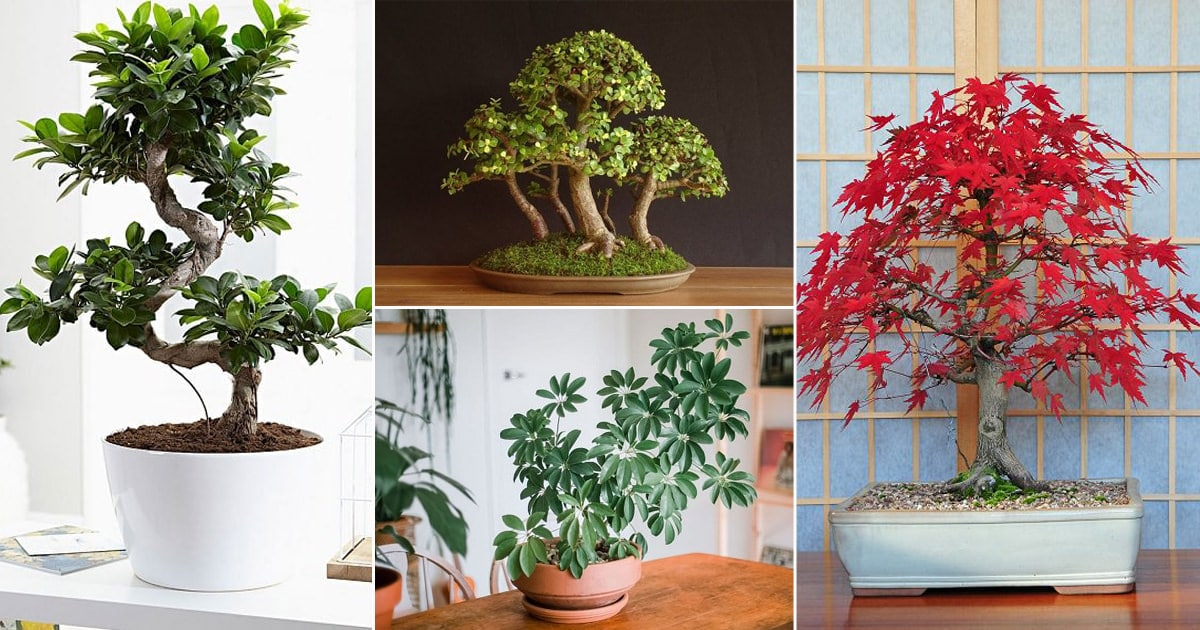 12 Best Indoor Bonsai Trees For Beginners Balcony Garden Web