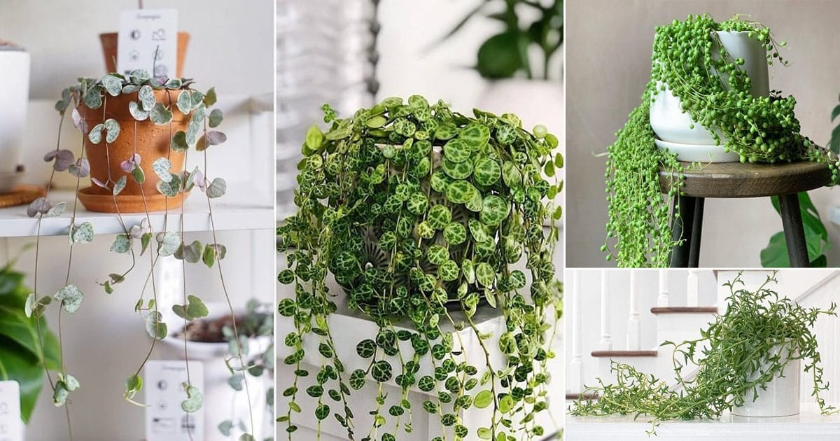 16 Awesome String Succulents That Hang Balcony Garden Web