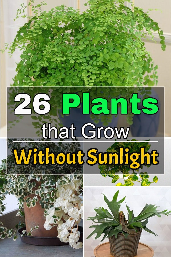 There are 26 plants that grow without sunlight, they need indirect exposure, some even thrive in artificial light and grow best indoors.