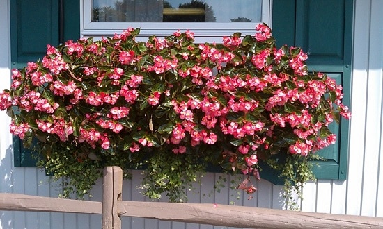 the best Cascading Flowers for Window Boxes