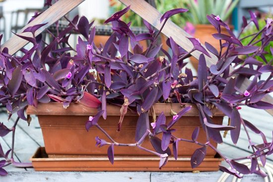 Types of Wandering Jew Plants you can grow