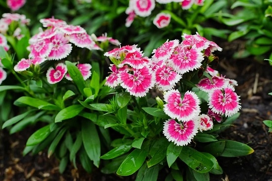 Pink Flower Names that will make you go wow